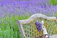 lavender loves