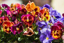 1 Gün 1 Bitki / Bahçe ve balkonları süsleyen en güzel bitkileri ve onlarla ilgili önerileri bulabileceğiniz bitki tanıma yazıları.