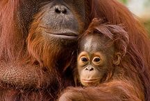 Orangutans / A selection of our favourite orangutan pictures, images from our projects and news on promotions/special events!