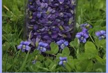 Violets - Growing