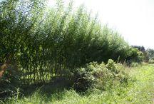Weiden