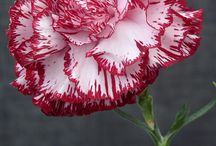 Anjer - Dianthus Caryophyllus