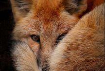 Foxes-Füchse
