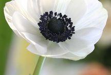 anemones / different anemones