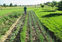 Désherbage et binage au potager et au verger / Le sarclage ou le binage conviennent parfaitement pour entretenir un jardin potager et le verger. Ils aident à maintenir en bonne santé les légumes, les fleurs, et même les arbustes. Biner, c'est lutter contre les autres plantes indésirables qui nuisent à celles du jardin.