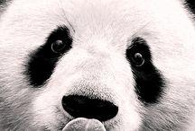 Pandapéter