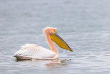 Great white pelican, Pelikaan