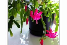 Easter and Christmas Cactus Flowers / Easter and Christmas Cactus Flowers and Art images