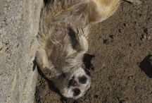 Meerkat Mountain / Meerkats @AnnasWelshZoo provide endless entertainment - see them in their environment and listen to a Keeper Talk!