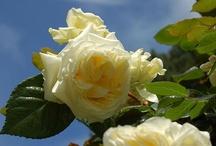 Roser i min hage