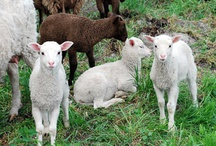 Finnish wool