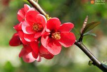 명자나무꽃