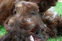 Portugalsky vodny pes