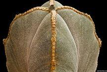Astrophytum képek