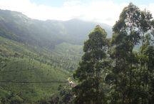 Devonshire Greens -  Munnar - Kerala / Devonshire Greens -  Munnar - Kerala