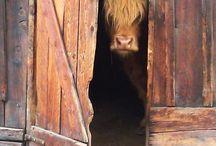 Crazy Cow Lady! ❤️