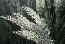 Trzcinniki Calamagrostis