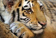 Tiere:  Tiger