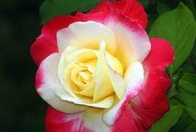 Гибридные чайные розы