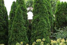 Cupressaceae / scaled leaved evergreens