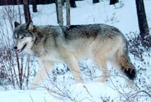 (Canada) Yukon / News, information and status of wolves in the Yukon