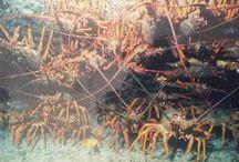Cray diving / DIVING NEW ZEALAND