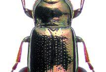 trachypachidae