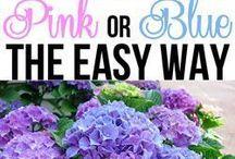 Pink and Blue Hydrangeas