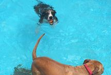 Dogs Swimming / We swim dogs everyday, and this board showcases some awesome dogs that swim at our house as well as our training center. Including in the ocean and lakes where I travel to.