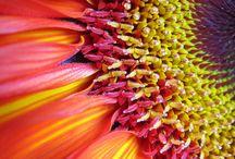 Sunflowers / Big, beautiful, yellow Sunflowers