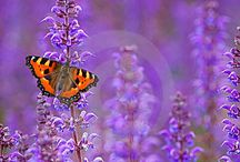 Meadow Sage (Salvia) / The purples of Salvia give gardens texture and depth.