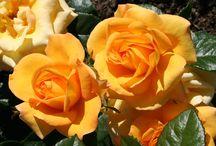 Roser og stell av dem