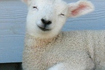 Sheep and Guinea Pigs / Nigel and Elizabeth keep sheep and also have a soft spot for guinea pigs!