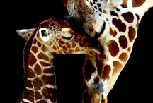 giraffes  / by Carrie Cannon
