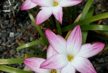 Turn The Summer Rain Into Blooming Flowers / Perfect for Rain and Rock Gardens. Stock up on Rain Lilies.