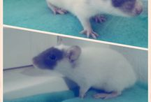 Liva og Jasmin / Her kan du se på mine to skønne rotter damer ❤️   Jeg elsker dem fordi de giver kærlighed tilbage de er gode lytter og har følser som mig selv❤️  Det er et dyr man må skaffe sig da de bare er lækker og super nuttede ❤️❤️