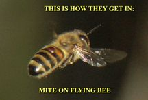 Mites and Bees / Information dealing with mites and honey bees.  Specifically the Varroa and Tracheal mites.