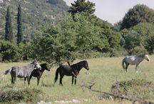 L'Aénos (Ainos Kefalonia Feral Horse) / L'Aénos est une race de poneys qui est originaire des montagnes grecques qui descend vraisemblablement du Pindos. Il se sont adapté à l' environnement forestier des montagnes d'Ainos sur l'Île de Céphalonie. En 2001, un été particulièrement sec provoqua la mort d'une grande partie du cheptel. L'Aénos est en grand danger d'extinction, il ne reste plus qu'une toute petite population de chevaux qui en 2010 comptait à peine 25 individus dont 7 juments.