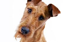 Irish Terrier / Irish Terriers are the prototype of a long-legged terrier. Standing about 18 inches at the shoulder, they're sturdy but lithe and graceful. Every line of the body is eye-catching, and the overall picture is beautifully balanced. The tight red coat is as fiery as the breed's temperament. ITs are a dog lover's delight: If your heart doesn't go pitty-pat at the sight of this Technicolor terrier framed against the vivid greens of the Irish countryside, forget dogs and buy a goldfish.