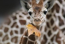Giraffes / One of my favourite animals...and a nick name I have had :)