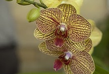 ~ orchids ~ /  ~ and the day came when the risk to remain tight in a bud was more painful than the risk it took to blossom ~~ (anais nin) ~ / by Jewel Tillotson