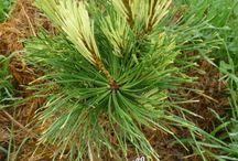 Pinus mugo-Havasi törpefenyő
