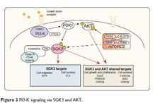 AKT-independent PI3-K signaling in cancer / Abstract: The phosphoinositide 3-kinase (PI3-K) signaling pathway plays an important role in a wide variety of fundamental cellular processes, largely mediated via protein kinase B/v-akt murine thymoma viral oncogene homolog (PKB/AKT) signaling.  Read this review and sign up to receive Cancer Management and Research journal here: http://www.dovepress.com/articles.php?article_id=14154