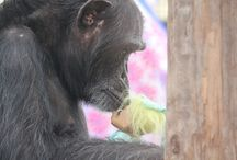 Chimpanzees are AMAZING!  Check out where I volunteer. / Chimpanzee Sanctuary Northwest is located on a 26-acre farm in the Cascade mountains, due east of Seattle. The Sanctuary provides lifetime quality care for formerly abused and exploited chimpanzees while advocating for great apes.  Check out the web site at ChimpsNW.org. / by Connie Lamm