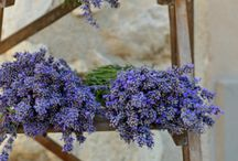 Lavender  / Luscious Lovely  Lavender