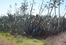 Agave and opuntia / Companies all over the world are investing so much looking for a perfect crop but they see the leave and not the wood! Many existing crops can be managed and adopted for bioenergy production on marginal regions with potential of expansion in millions of hectares of several countries suffering from energy shortages and foreign dependency. This board about Agave and Opuntia sp. shows very clearly what we think about bioenergy crops and sustainable energy production in a biobased economy. / by Bioenergy Crops
