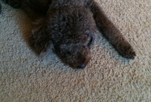 Lessons from My Dog / Baily the miniature labradoodle never has a bad day. Eat, play, sleep. That's all it takes to be happy. / by Paula Becker