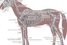 Le cheval en schéma / Le cheval est un animal sensible et fragile. Son soigneur doit savoir reconnaître au premier coup une partie de son anatomie, de sa morphologie, les différents équipements et matériaux...