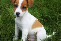 Jack Russell Terrier Stenatka