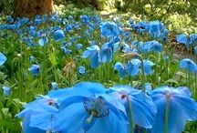 Meconopsis betonicifolia and other blue poppies